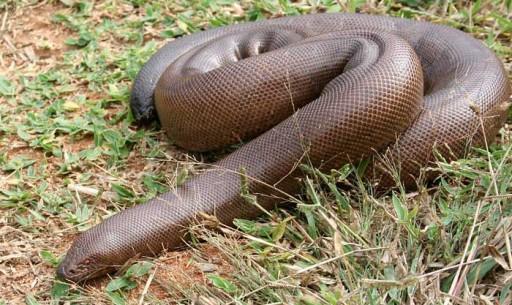 serpent-boa