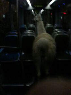 lama-dans-tram
