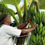 Une technique de production révolutionnaire de Bananier-plantain
