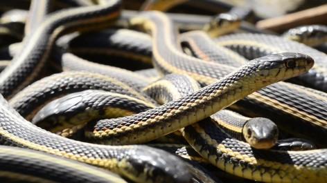 Âmes (et pieds) sensibles, s'abstenir : c'est la saison du rassemblement du plus grand nid de serpents au monde
